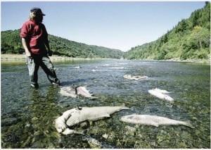 Klamath River salmon
